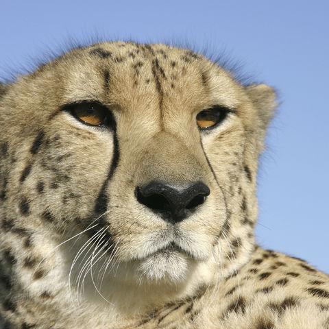 Gepard nimmt ein Sonnenbad, Namibia