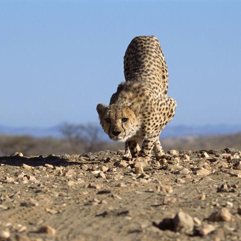 Gepard pirscht sich an, Namibia