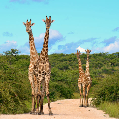 Giraffenherde © Thinkstock, iStockphoto