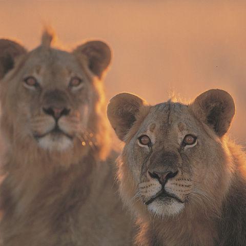Zwei Löwinnen in der Kalahari Wüste, Namibia