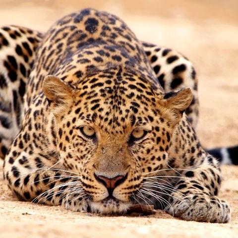 Leopard auf der Pirsch, Namibia