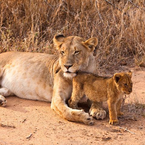 Löwenmama beschützt ihr Kind, Namibia