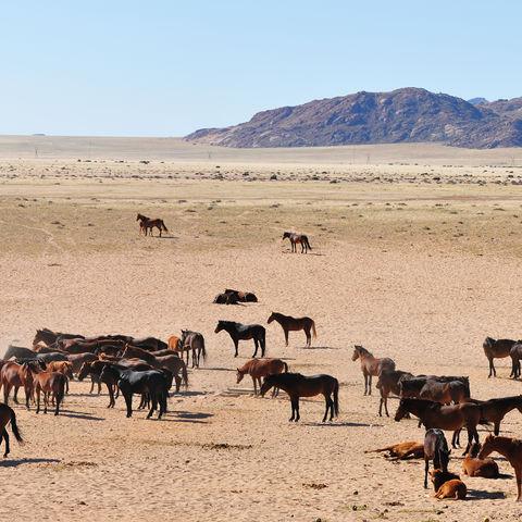 Herde wilder Wüstenpferde in der Namib-Wüste, Namibia