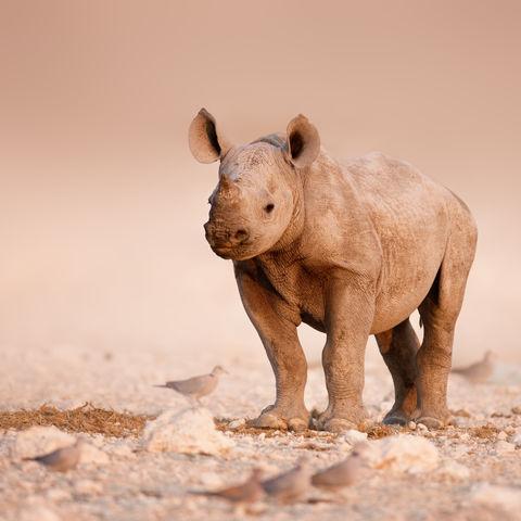 Nashornjunges, Namibia