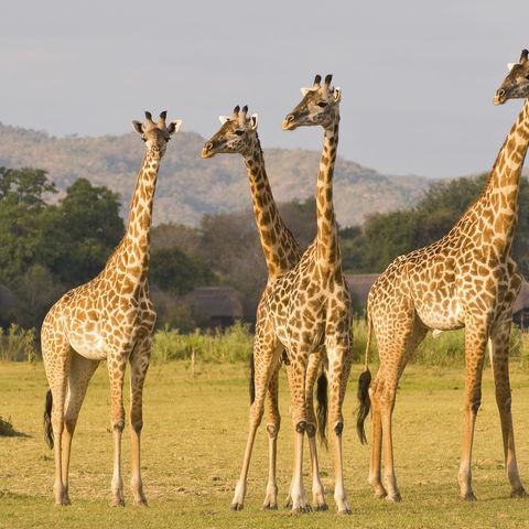 Neugierige Giraffenherde, Namibia