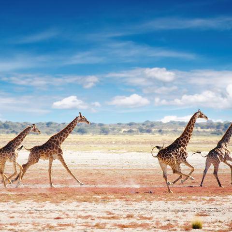 Laufende Giraffen in der Savanne, Namibia