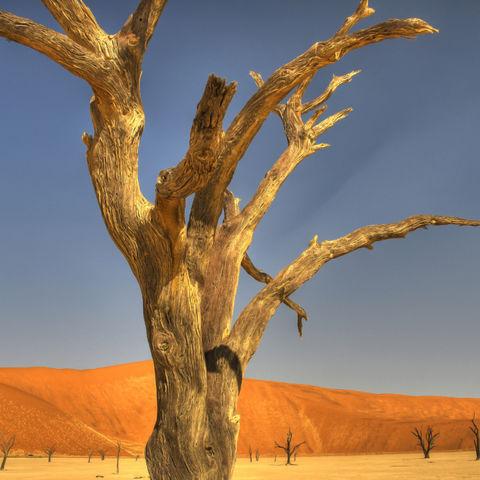 Abgestorbener Baum im Sossusvlei, Namibia