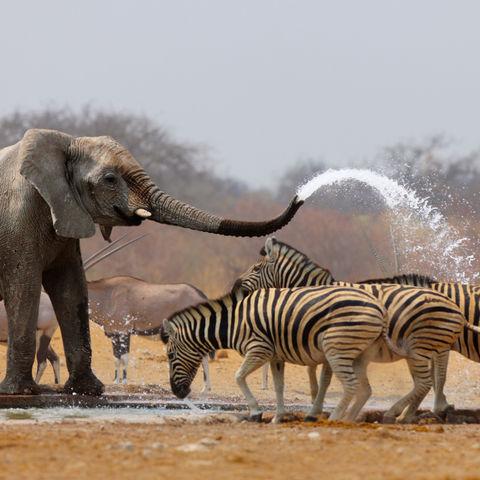 Zeit für eine Dusche am Wasserloch, Namibia