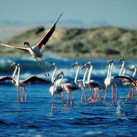 Flamingoschwarm im Wasserloch, Namibia