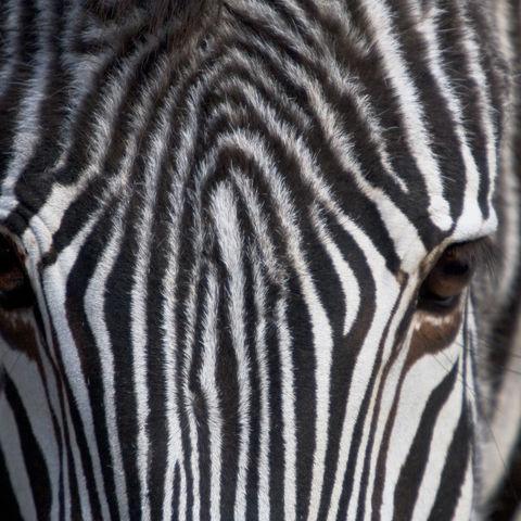 Nahaufnahme eines Zebras, Namibia