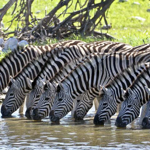 Trinkende Zebras an einem Wasserloch, Namibia