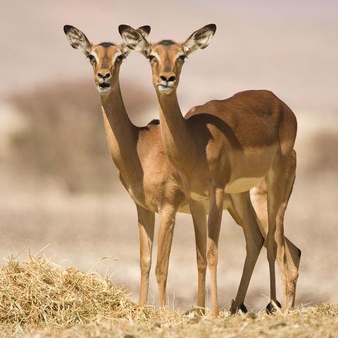Zwei Impalas, Namibia