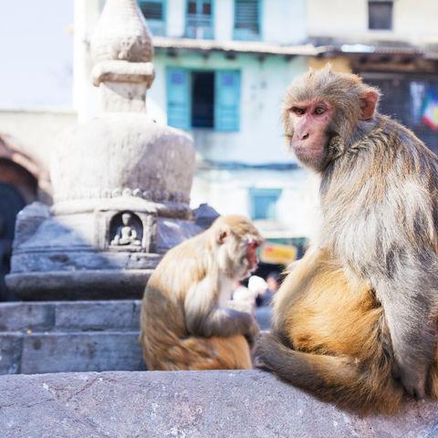 Affen in Kathmandu, Nepal