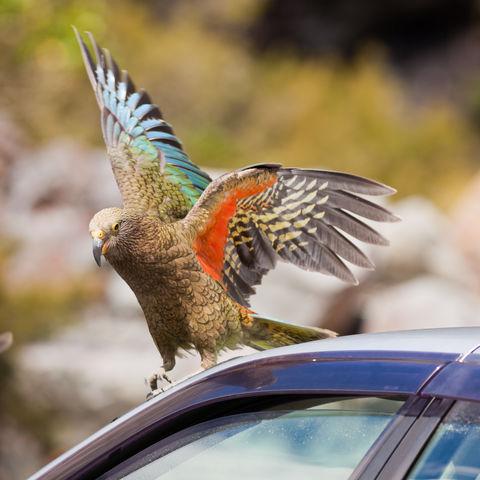 Endmischer Kea auf einem Auto, Neuseeland