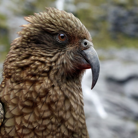 Frecher Kea in Fjordland, Neuseeland