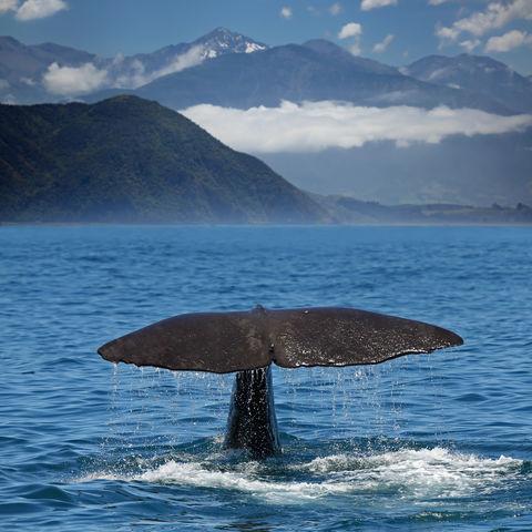 Vor der Bergwelt der Kaikoura Ranges: Finne eines Wals, Neuseeland