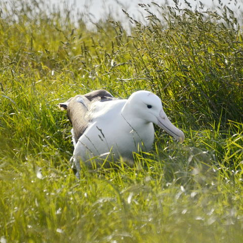 Die weltweit einzige Brutkolonie von Königsalbatrossen auf dem Festland: Otago Peninsula, Neuseeland