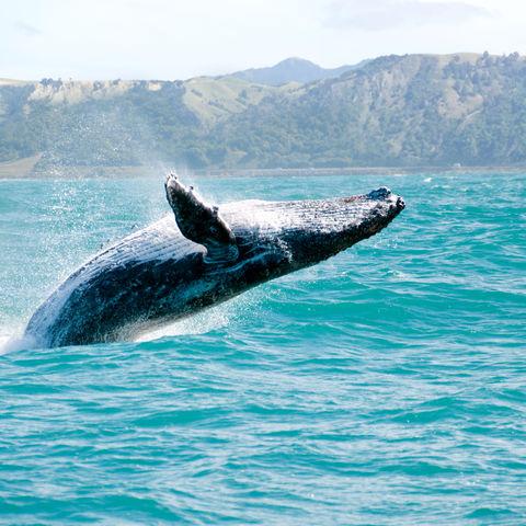 Der Buckelwal, ein beeindruckendes Lebewesen, Neuseeland