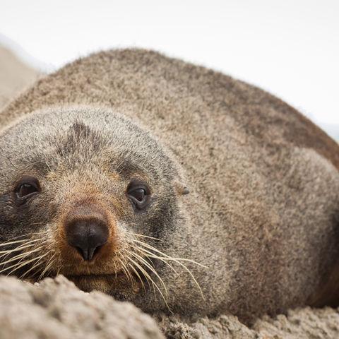 Robbe entspannt an der Kuste, Neuseeland