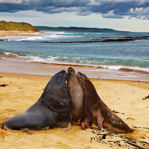 Seelöwen, Neuseeland