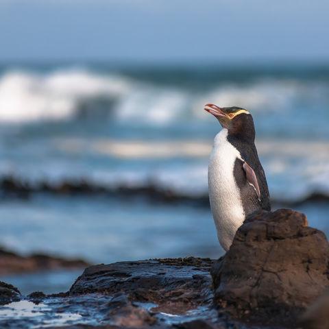 Gelbaugen-Pinguin, Neuseeland