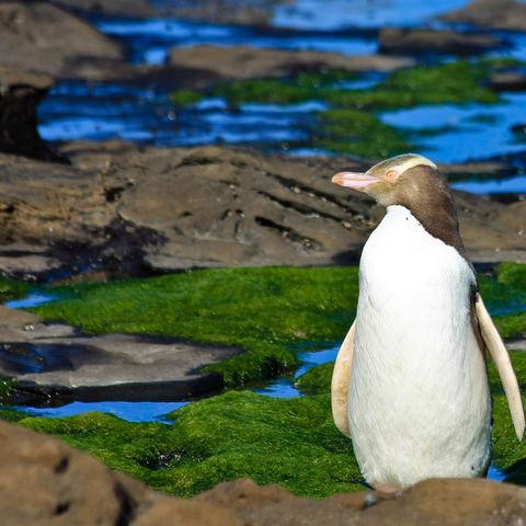 Gelbaugenpinguin in der Curio Bay auf der Südinsel Neuseelands, Neuseeland