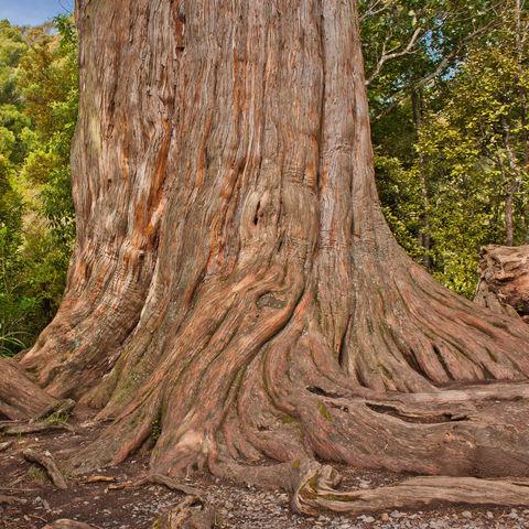 Riesiger Kauri-Baum im Waipoua Forest, Neuseeland