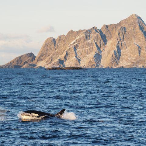 Orca im Norden Norwegens (Option A), Norwegen