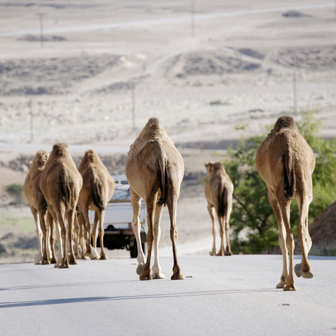 Nicht ungewöhnlich: Kamele auf einer Straße, Oman