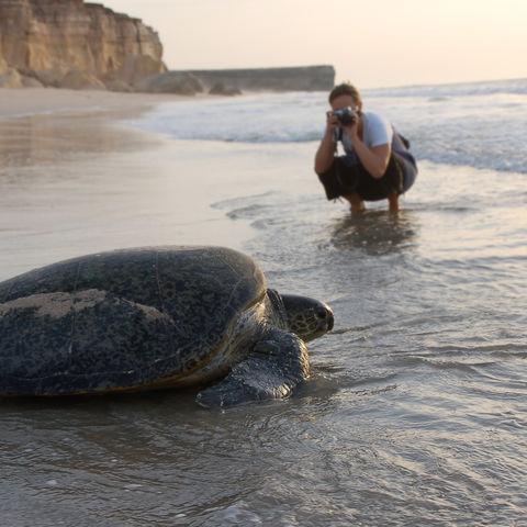 Nach der Eiablage: Schildkröte auf dem Weg zurück ins Meer, Oman