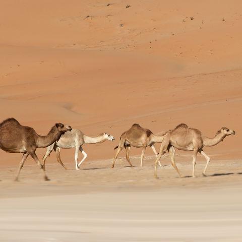 Dromedare in der Rub al-Khali, Oman