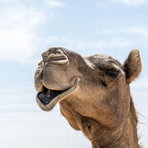 Kamel oder Dromedar?, Salalah, Oman