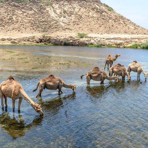 Trinkende Dromedare in Taqah, Oman