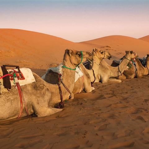 Dromedare in der Wahiba Wüste © Adamico, Dreamstime.com