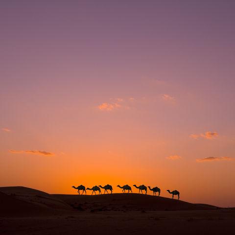 Kamelkaravane in der Wüste, Oman