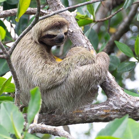 Keine Seltenheit: Ein Faultier auf Bocas del Toro, Panama
