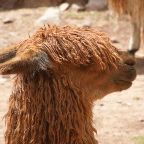 Niedliches Alpaka, Peru