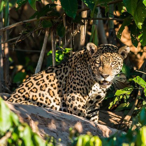Jaguar im peruanischen Dschungel, Peru