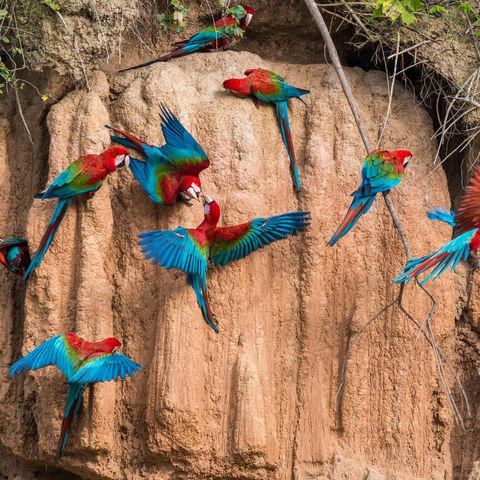 Papageien an einer Salzlecke, Peru
