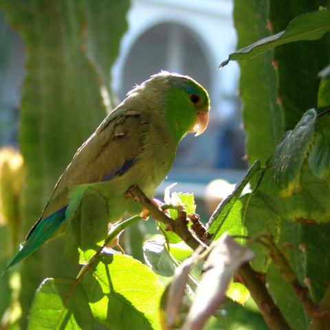 Junger Parrot Papagei, Peru