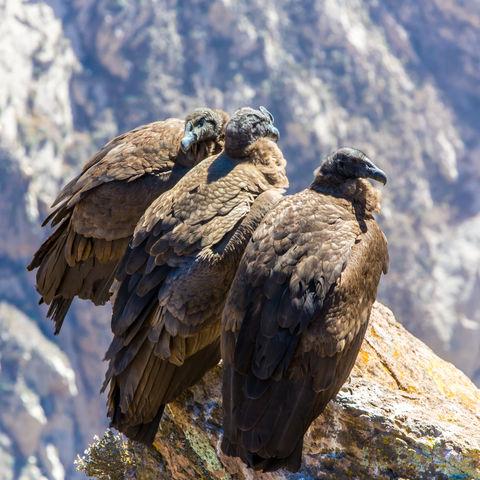 Drei Kondore im Colca Canyon, Peru