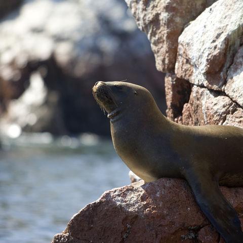 Robbe auf einem Felsen auf den Islas Ballestas, Peru