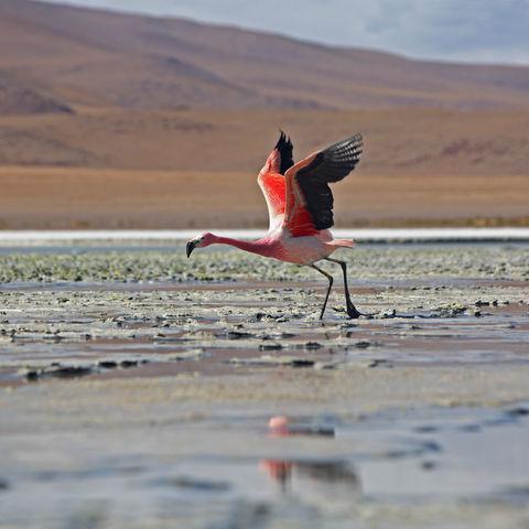 Rosafarbener Flamingo am Abflug, Bolivien