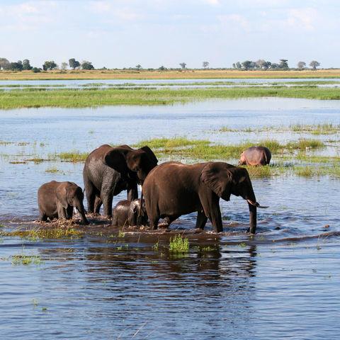 Elefantenfamilie trifft auf Nilpferd im Fluss, Sambia