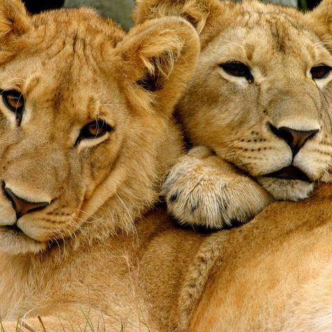 Löwenbrüder, Sambia