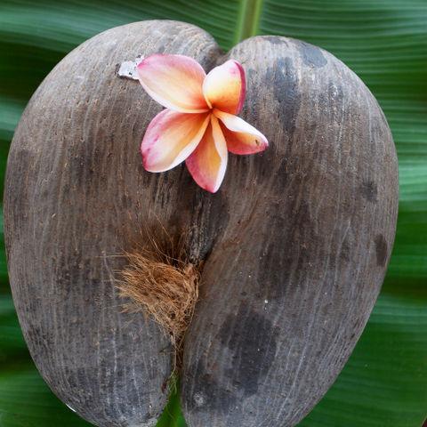 Coco de Mer, Seychellen