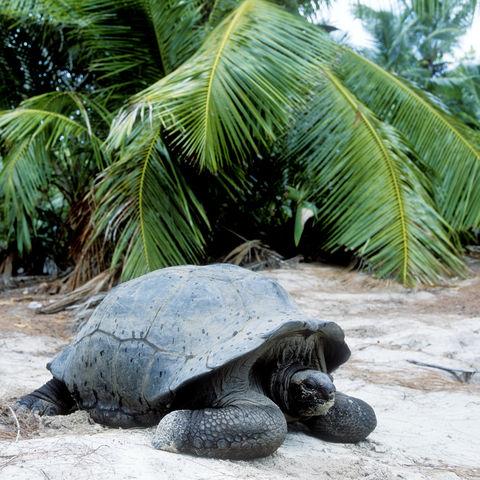 Riesenschildkröte auf der Insel Curieuse, Seychellen