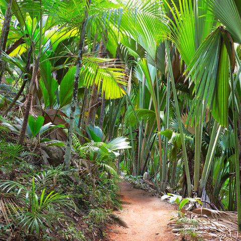 Pfad im Palmenwald Vallée de Mai, Praslin, Seychellen