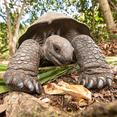 Neugierige Schildkröte, Seychellen