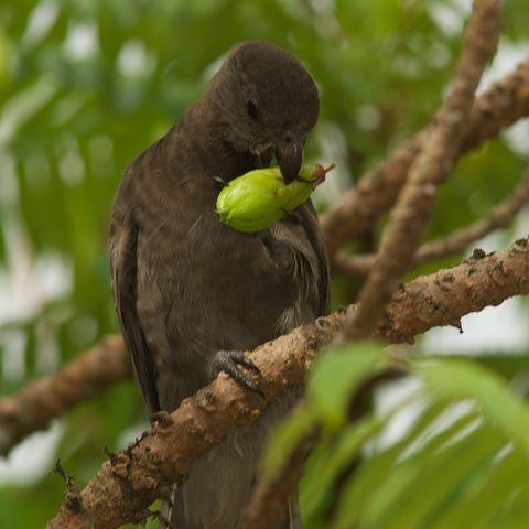 Schwarzer Papagei, Seychellen